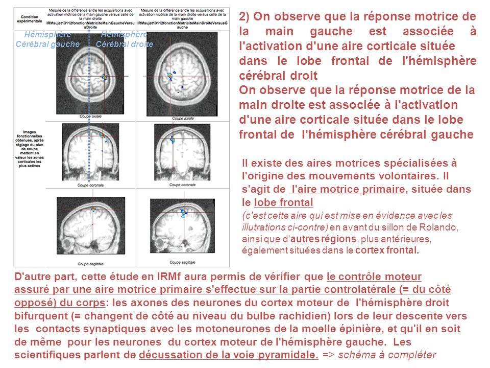 2) On observe que la réponse motrice de la main gauche est associée à l'activation d'une aire corticale située dans le lobe frontal de l'hémisphère cé
