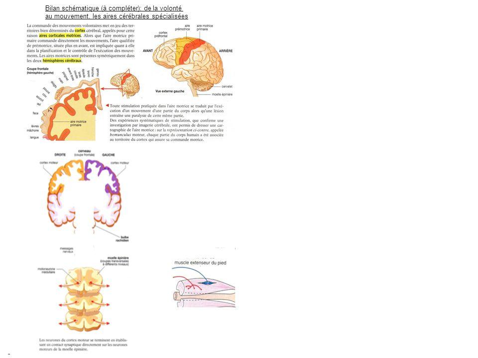 Bilan schématique (à compléter): de la volonté au mouvement, les aires cérébrales spécialisées