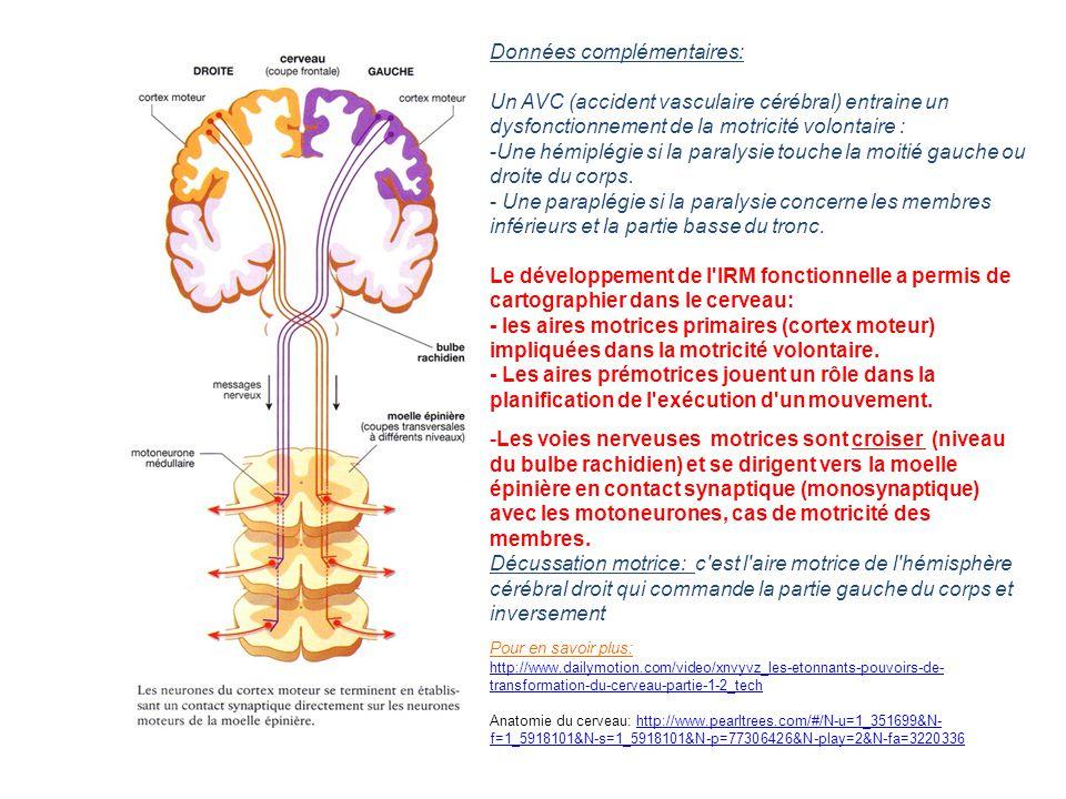 -Les voies nerveuses motrices sont croiser (niveau du bulbe rachidien) et se dirigent vers la moelle épinière en contact synaptique (monosynaptique) a