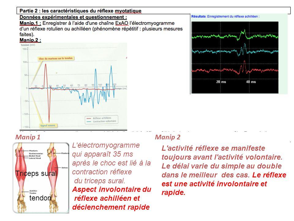L'électromyogramme qui apparaît 35 ms après le choc est lié à la contraction réflexe du triceps sural. Aspect involontaire du réflexe achilléen et déc