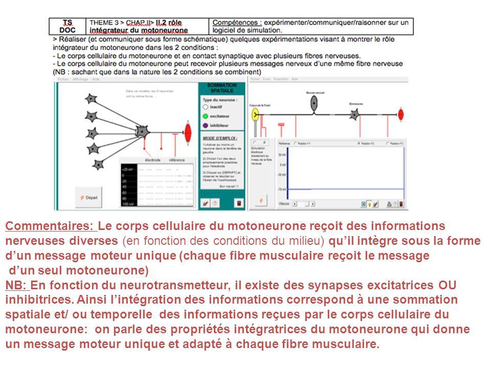 Commentaires: Le corps cellulaire du motoneurone reçoit des informations nerveuses diverses (en fonction des conditions du milieu) quil intègre sous l