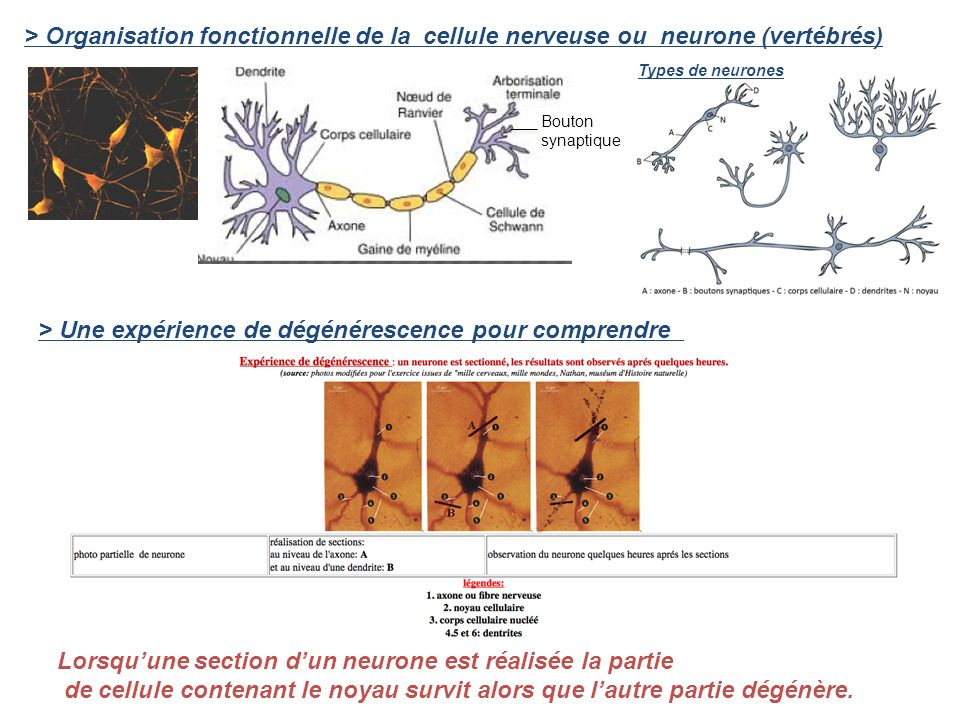 Lorsquune section dun neurone est réalisée la partie de cellule contenant le noyau survit alors que lautre partie dégénère. > Organisation fonctionnel