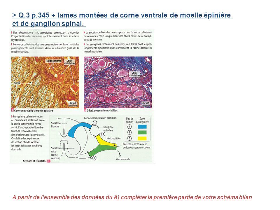 > Q.3 p.345 + lames montées de corne ventrale de moelle épinière et de ganglion spinal. A partir de lensemble des données du A) compléter la première