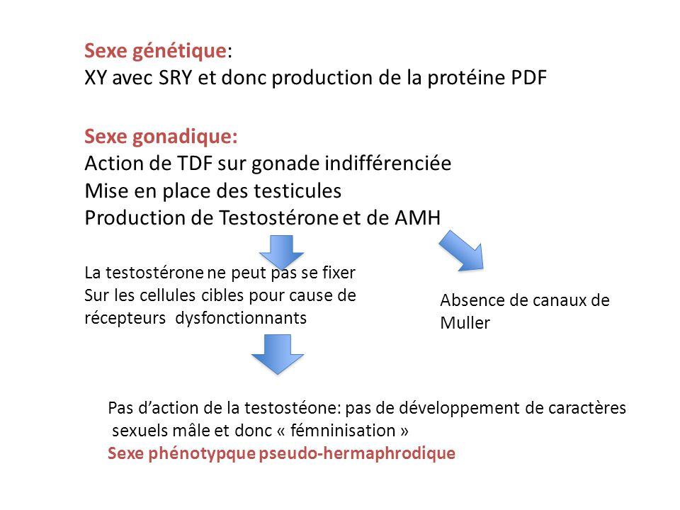 Sexe génétique: XY avec SRY et donc production de la protéine PDF Sexe gonadique: Action de TDF sur gonade indifférenciée Mise en place des testicules Production de Testostérone et de AMH La testostérone ne peut pas se fixer Sur les cellules cibles pour cause de récepteurs dysfonctionnants Absence de canaux de Muller Pas daction de la testostéone: pas de développement de caractères sexuels mâle et donc « fémninisation » Sexe phénotypque pseudo-hermaphrodique