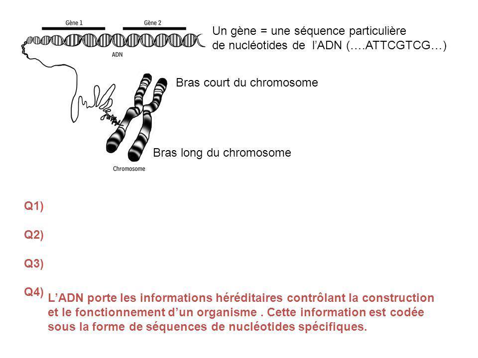 Bras court du chromosome Bras long du chromosome Un gène = une séquence particulière de nucléotides de lADN (….ATTCGTCG…) Q1) Q2) Q3) Q4) LADN porte les informations héréditaires contrôlant la construction et le fonctionnement dun organisme.