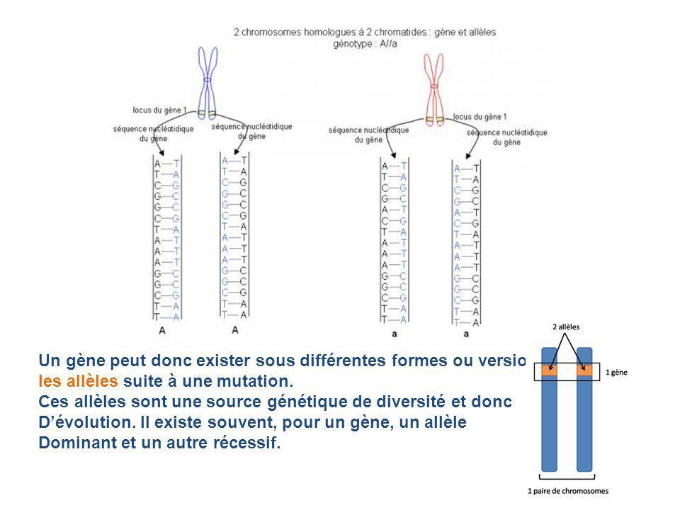 Un gène peut donc exister sous différentes formes ou versions : les allèles suite à une mutation.