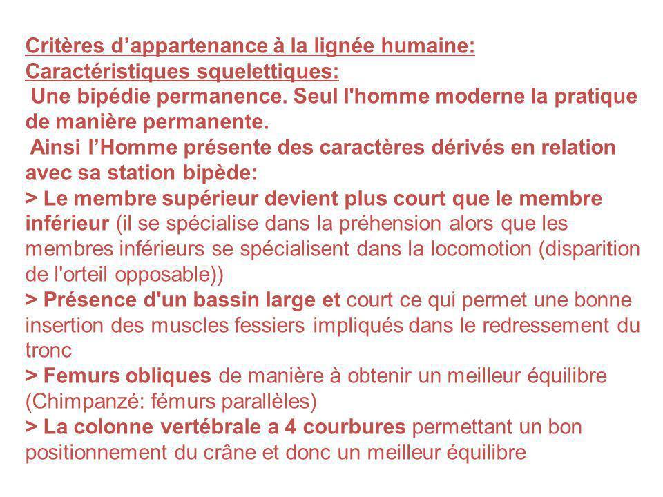 Critères dappartenance à la lignée humaine: Caractéristiques squelettiques: Une bipédie permanence. Seul l'homme moderne la pratique de manière perman