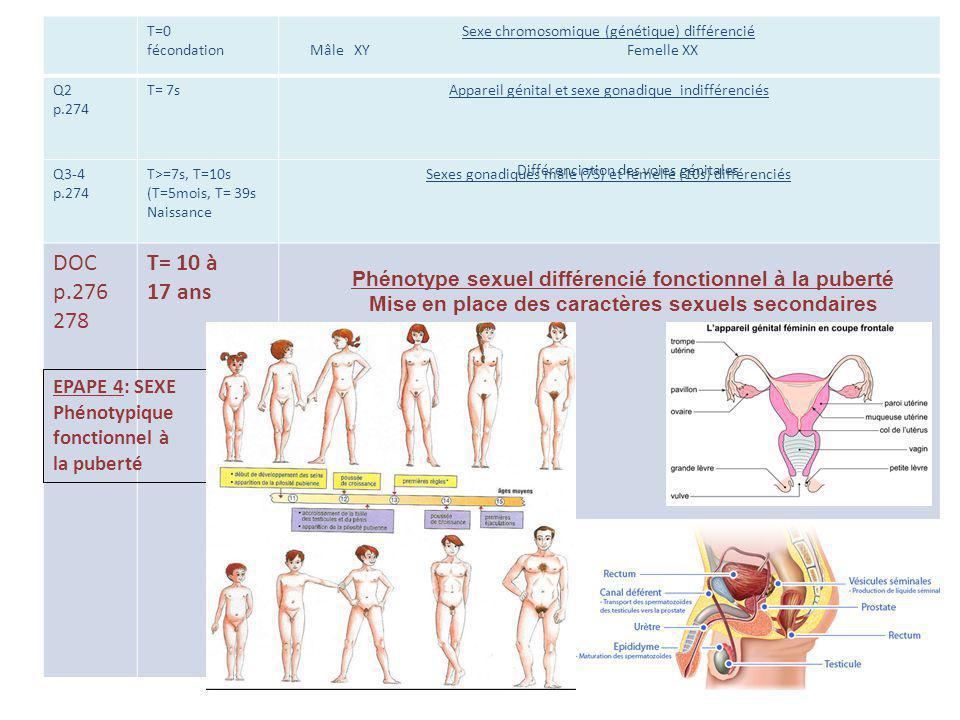 T=0 fécondation Sexe chromosomique (génétique) différencié Mâle XY Femelle XX Q2 p.274 T= 7sAppareil génital et sexe gonadique indifférenciés Q3-4 p.2