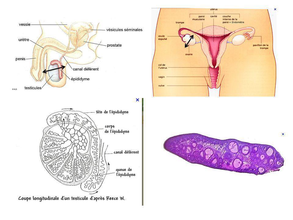 Commentaires: Chaque individu est défini génétiquement par son sexe chromosomique (ou génétique: XX et XY) et par un ensemble de caractères appelé phénotype.