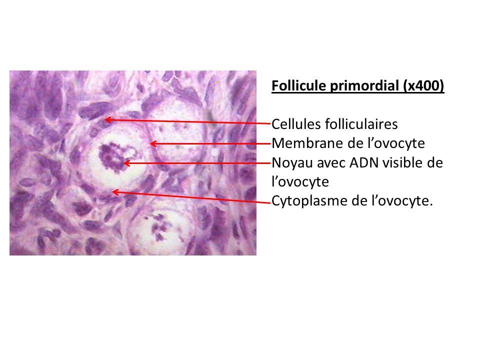 Follicule primordial (x400) Cellules folliculaires Membrane de lovocyte Noyau avec ADN visible de lovocyte Cytoplasme de lovocyte.