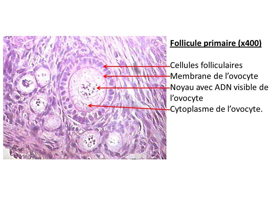Follicule primaire (x400) Cellules folliculaires Membrane de lovocyte Noyau avec ADN visible de lovocyte Cytoplasme de lovocyte.