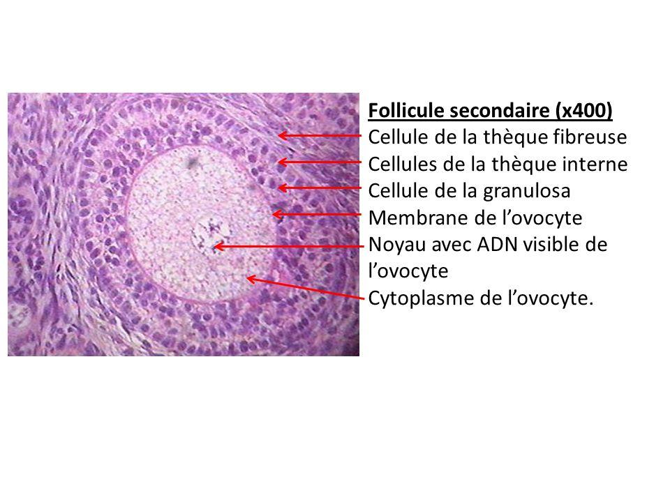 Follicule secondaire (x400) Cellule de la thèque fibreuse Cellules de la thèque interne Cellule de la granulosa Membrane de lovocyte Noyau avec ADN vi