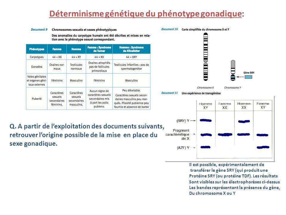 Déterminisme génétique du phénotype gonadique: Q. A partir de lexploitation des documents suivants, retrouver lorigine possible de la mise en place du