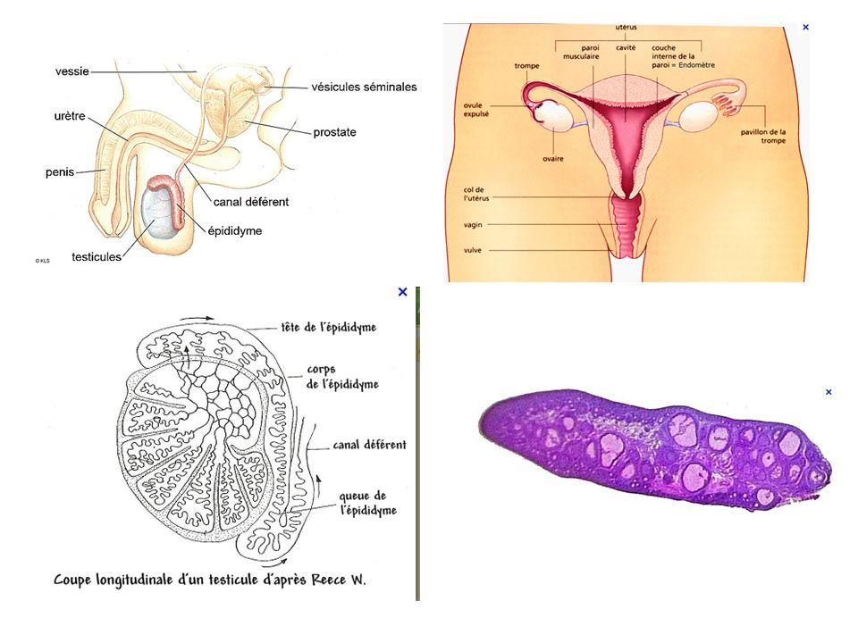 Commentaires: Chaque individu est défini génétiquement par son sexe chromosomique (ou génétique) et par un ensemble de caractères appelé phénotype.