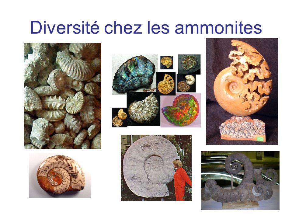 Diversité chez les ammonites
