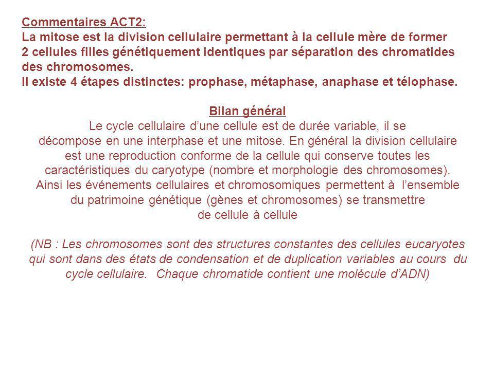 Commentaires ACT2: La mitose est la division cellulaire permettant à la cellule mère de former 2 cellules filles génétiquement identiques par séparation des chromatides des chromosomes.