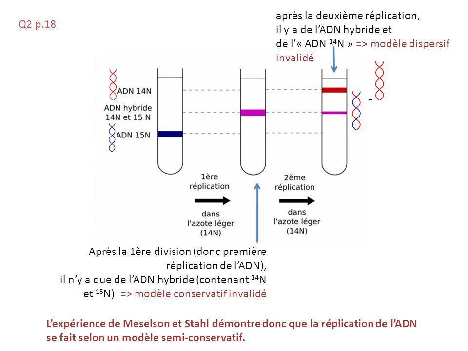 Après la 1ère division (donc première réplication de lADN), il ny a que de lADN hybride (contenant 14 N et 15 N) => modèle conservatif invalidé après la deuxième réplication, il y a de lADN hybride et de l« ADN 14 N » => modèle dispersif invalidé Lexpérience de Meselson et Stahl démontre donc que la réplication de lADN se fait selon un modèle semi-conservatif.