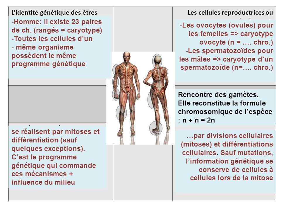 Lidentité génétique des êtres vivants est portée dans les cellules par les chromosomes Les cellules reproductrices ou germinales sont: La fécondation La croissance et le renouvellement cellulaire dun organisme Le développement embryonnaire et fœtal se -Homme: il existe 23 paires de ch.