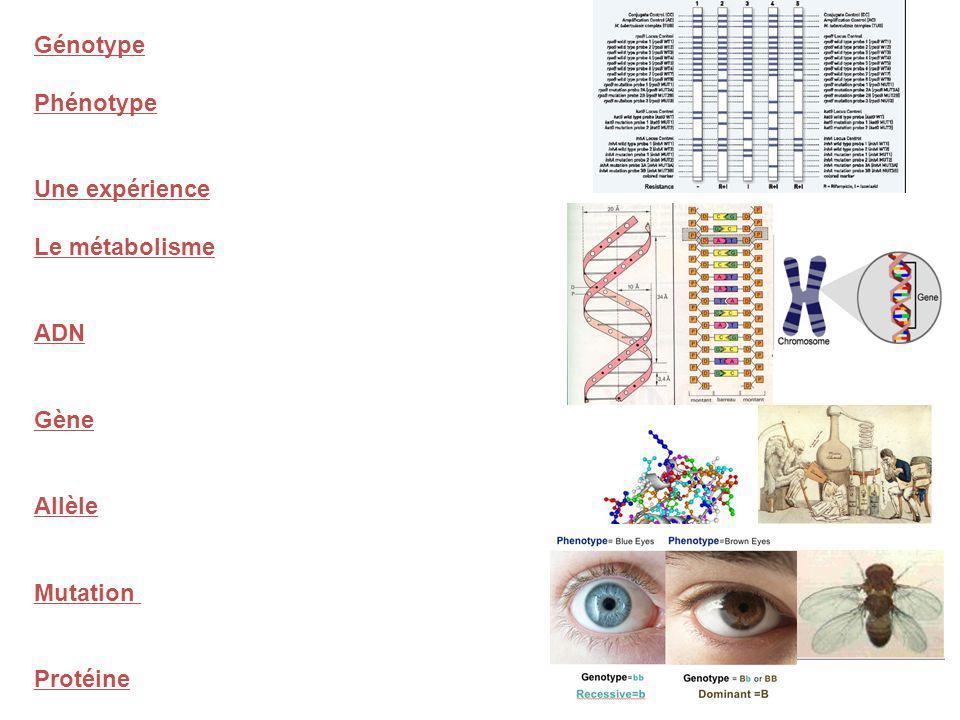 Génotype Phénotype Une expérience Le métabolisme ADN Gène Allèle Mutation Protéine