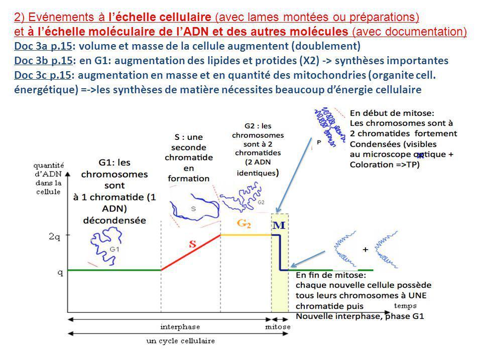 Doc 3a p.15: volume et masse de la cellule augmentent (doublement) Doc 3b p.15: en G1: augmentation des lipides et protides (X2) -> synthèses importantes Doc 3c p.15: augmentation en masse et en quantité des mitochondries (organite cell.