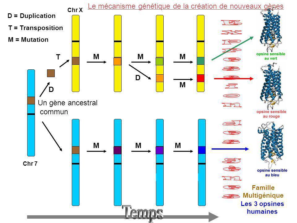 Chr 7 Chr X D = Duplication D T M M M M MM Famille Multigénique Les 3 opsines humaines T = Transposition M = Mutation M D Le mécanisme génétique de la