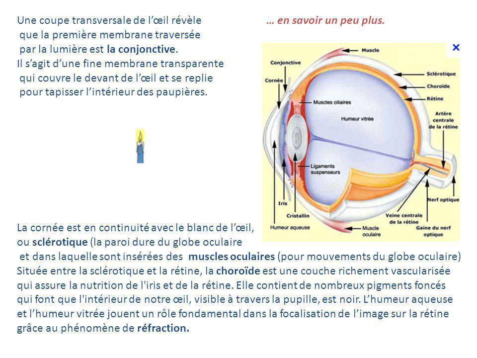 Une coupe transversale de lœil révèle que la première membrane traversée par la lumière est la conjonctive. Il sagit dune fine membrane transparente q