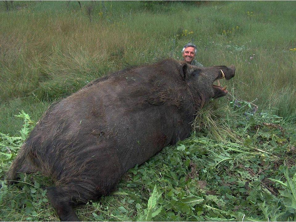 Turquie : Attila, était là ! 355 kg : un record ! Non, ce nest pas une légende : les sangliers des Balkans et des régions périphériques comme la Turqu