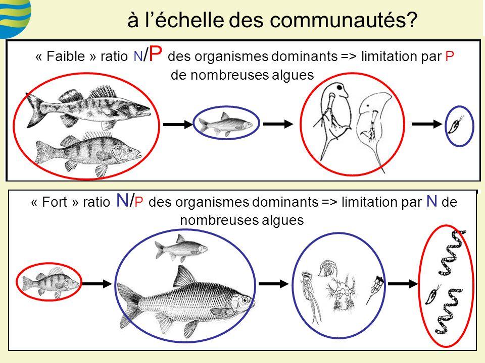 « Faible » ratio N / P des organismes dominants => limitation par P de nombreuses algues « Fort » ratio N/ P des organismes dominants => limitation par N de nombreuses algues à léchelle des communautés?