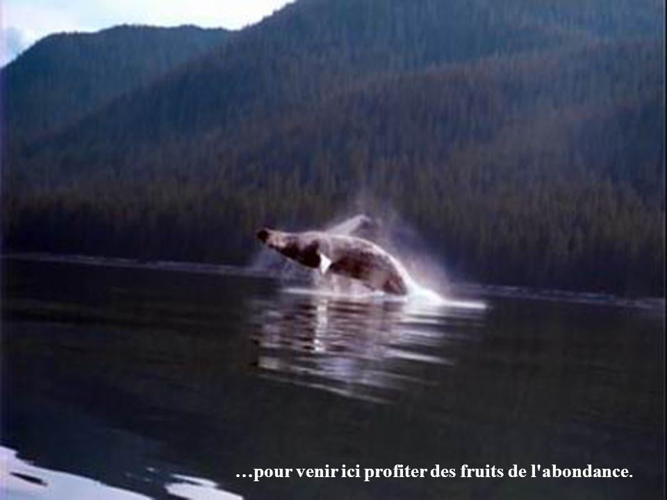 Les eaux sont alors tellement fécondes que les baleines à bosses parcourent près de 6 500 kilomètres à partir d'Hawaii...