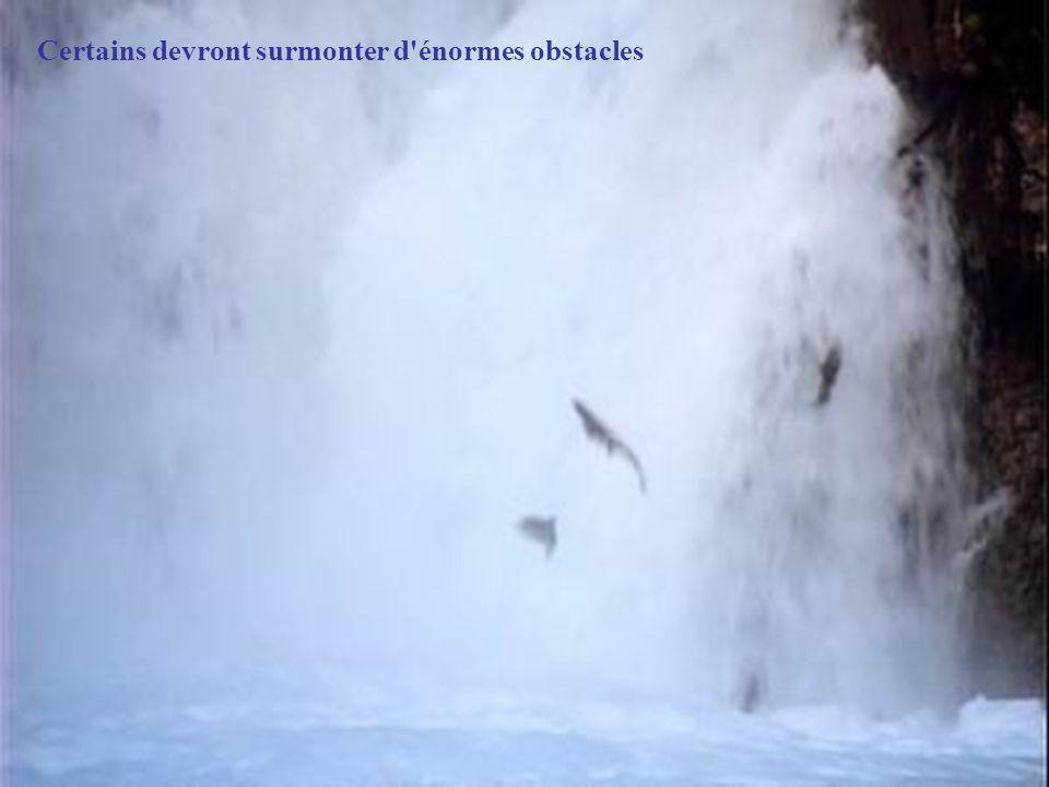 En été, un miracle vient de la mer. Par vagues, les saumons arrivent du large et entreprennent leur ultime migration pour retourner frayer dans les ea