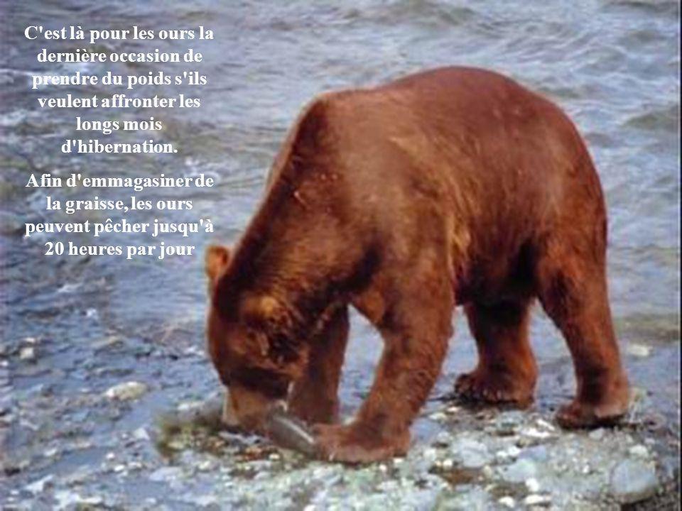 Pour les ours bruns en quête de leur pitance, l'arrivée des saumons est l'événement le plus important de l'année