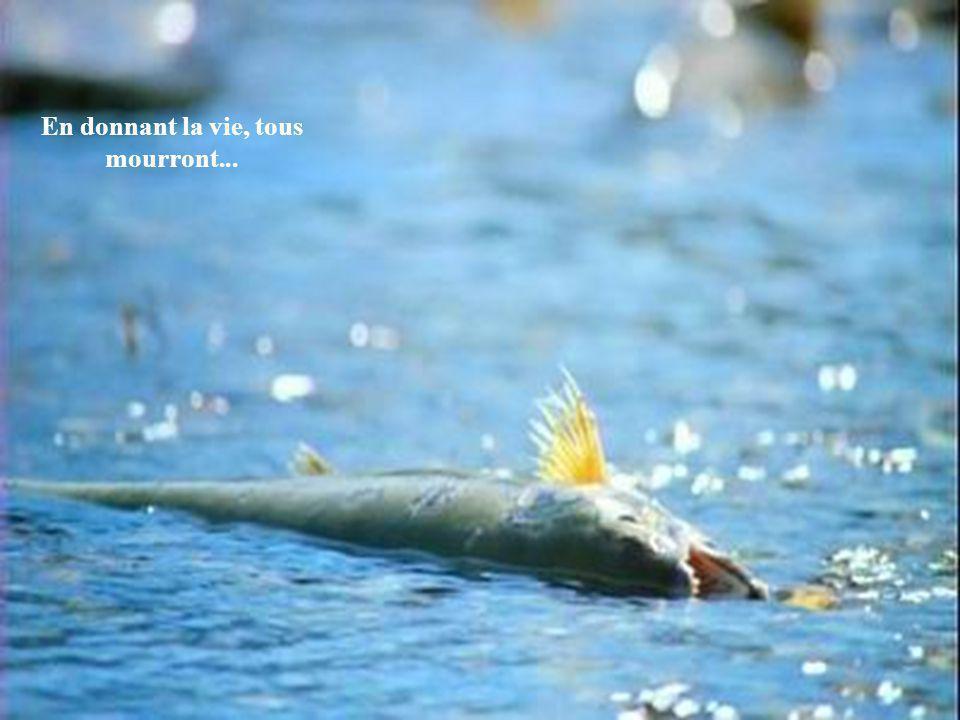 Leur puissant instinct les ont amenés ici pour pondre les œufs de la prochaine génération. Seul un poisson sur cent né dans ces eaux atteindra le lieu
