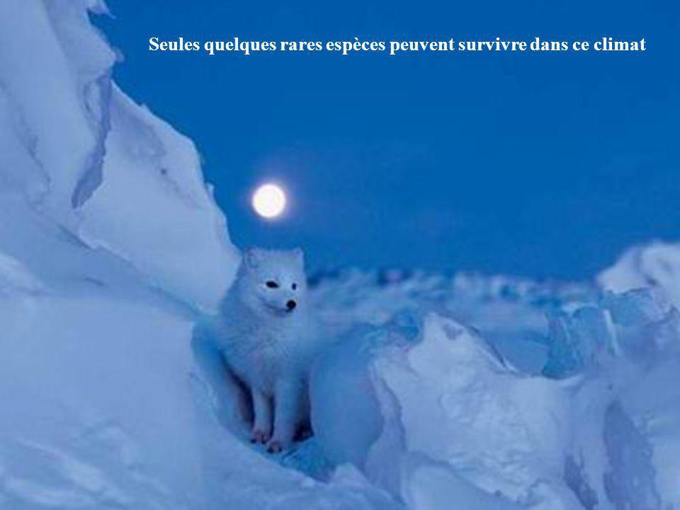 Avec son extraordinaire odorat, l'ours peut détecter un phoque à 30 kilomètres de distance. Pour lui, le festin hivernal va commencer...