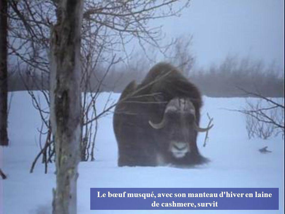 Le bison, avec sa grosse fourrure hivernale, y arrive lui aussi