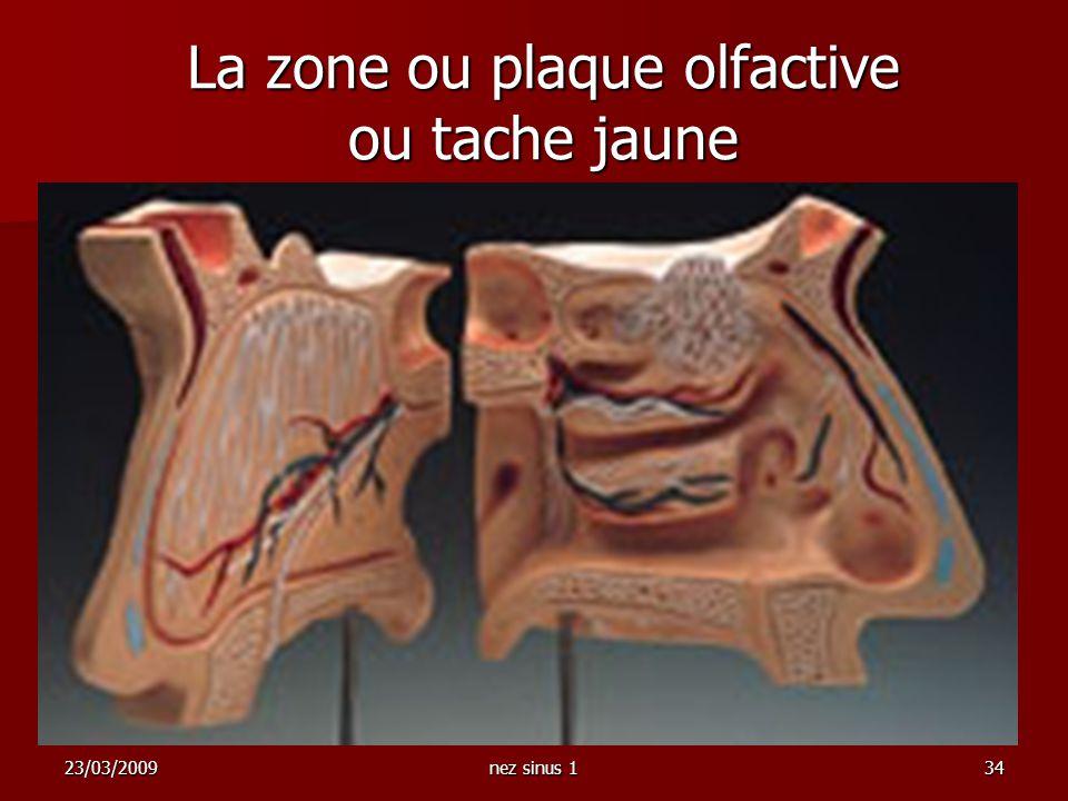 23/03/2009nez sinus 134 La zone ou plaque olfactive ou tache jaune