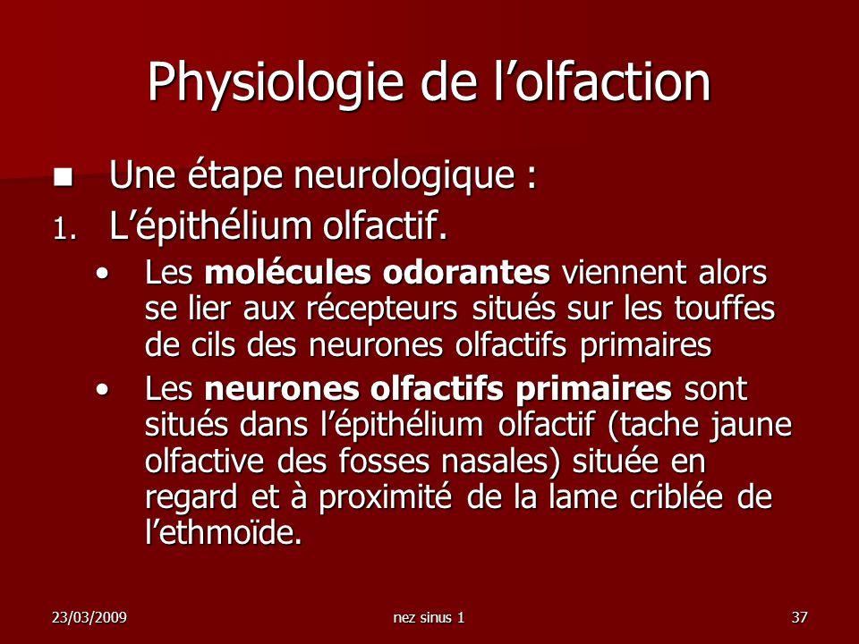 23/03/2009nez sinus 137 Physiologie de lolfaction Une étape neurologique : Une étape neurologique : 1. Lépithélium olfactif. Les molécules odorantes v