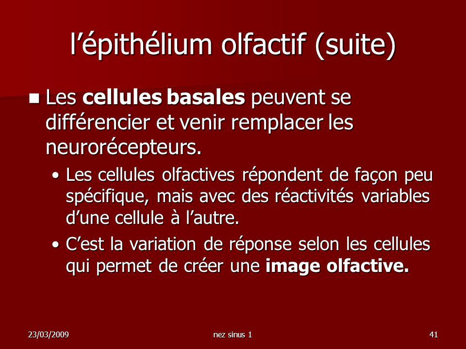23/03/2009nez sinus 141 lépithélium olfactif (suite) Les cellules basales peuvent se différencier et venir remplacer les neurorécepteurs. Les cellules