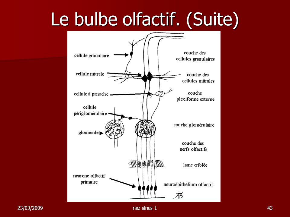 23/03/2009nez sinus 143 Le bulbe olfactif. (Suite)