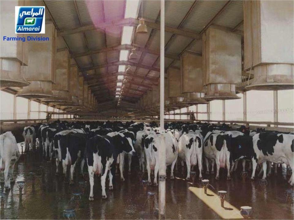 De koeien krijgen 2 maal stortbad van 6 min. Chaque vache bénéficie dune douche de 6 minutes 2 fois par jour Chaque vache bénéficie dune douche de 6 m