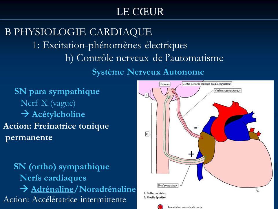LE CŒUR B PHYSIOLOGIE CARDIAQUE 1: Excitation-phénomènes électriques b) Contrôle nerveux de lautomatisme Système Nerveux Autonome SN para sympathique