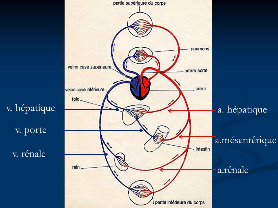 a. hépatique v. hépatique a.mésentérique v. porte a.rénale v. rénale