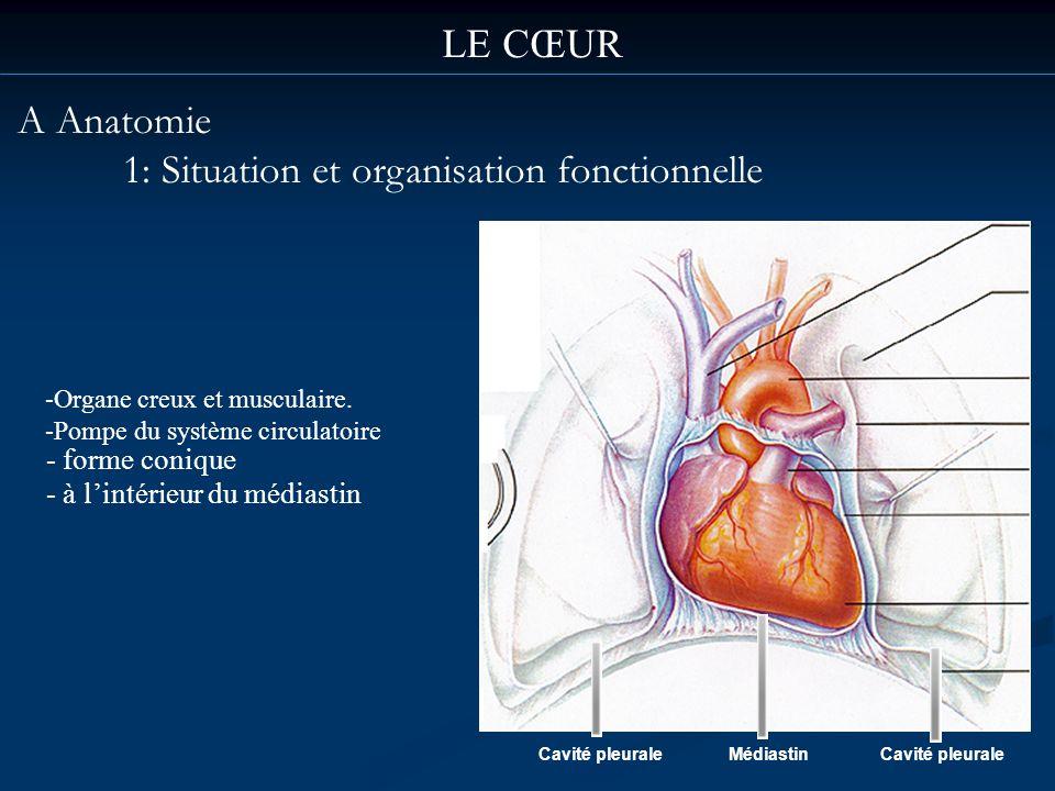 LE CŒUR A Anatomie 1: Situation et organisation fonctionnelle Cavité pleuraleMédiastinCavité pleurale - forme conique - à lintérieur du médiastin -Org