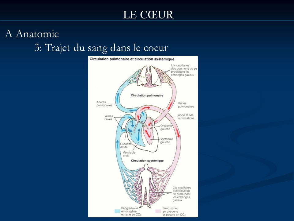 LE CŒUR A Anatomie 3: Trajet du sang dans le coeur