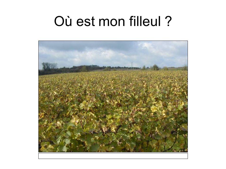 Les 4000 ceps de chardonnay
