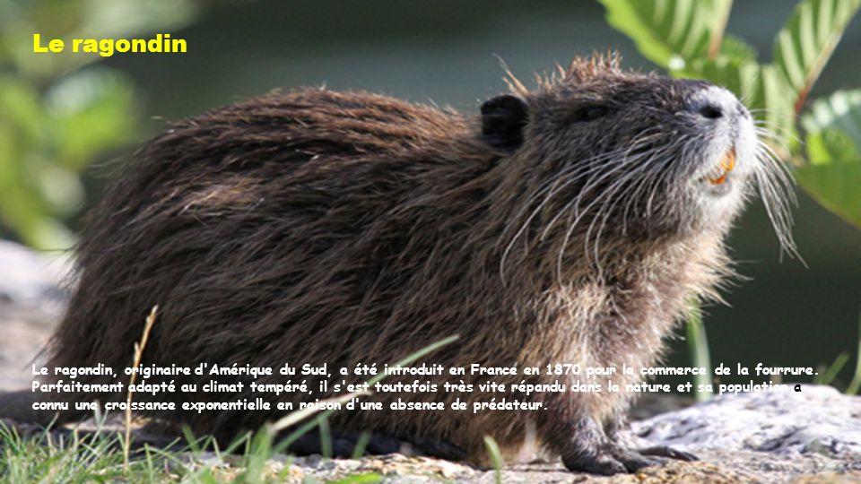 Le ragondin Le ragondin, originaire d Amérique du Sud, a été introduit en France en 1870 pour le commerce de la fourrure.