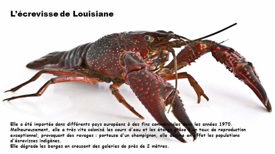Lécrevisse de Louisiane Elle a été importée dans différents pays européens à des fins commerciales dans les années 1970.