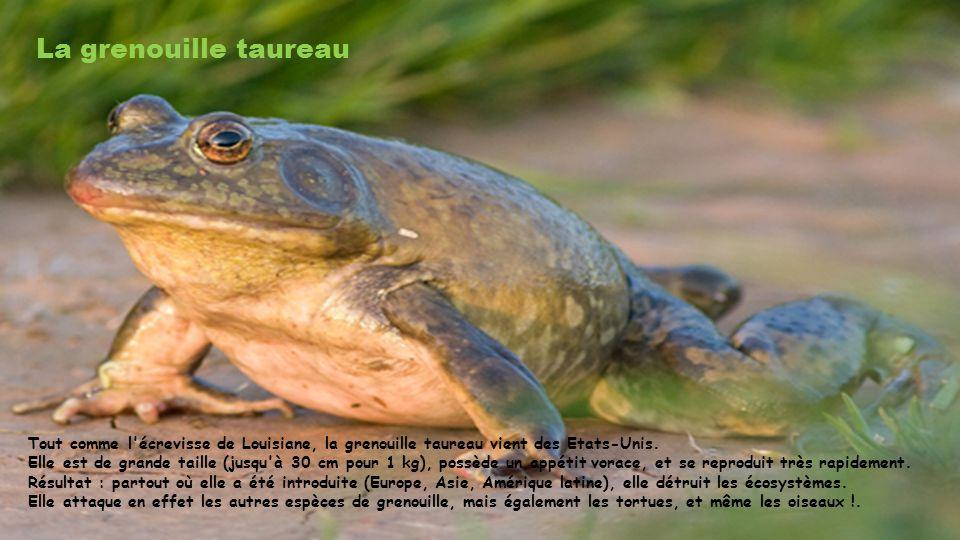 La grenouille taureau Tout comme l écrevisse de Louisiane, la grenouille taureau vient des Etats-Unis.