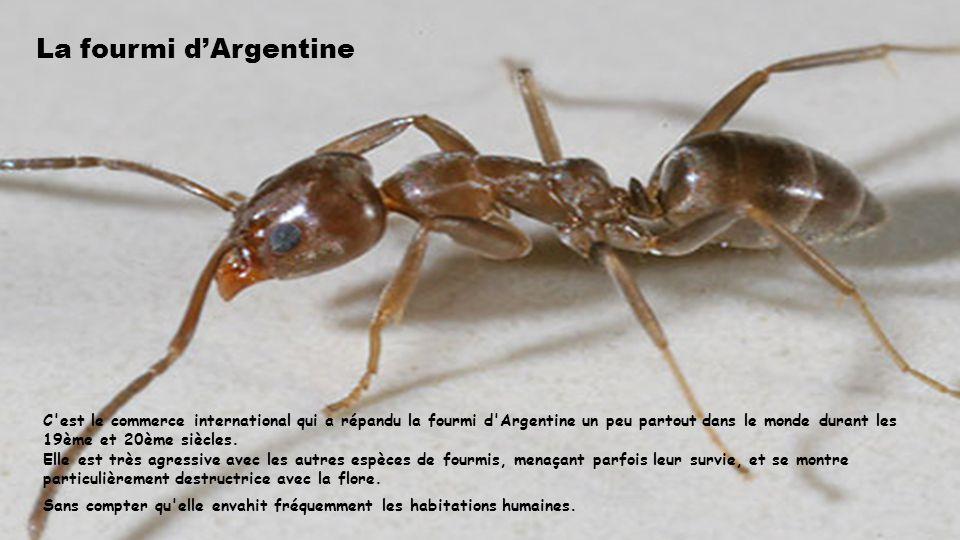 La fourmi dArgentine C est le commerce international qui a répandu la fourmi d Argentine un peu partout dans le monde durant les 19ème et 20ème siècles.