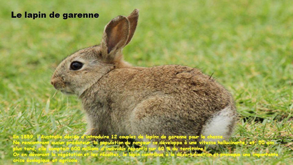 Le lapin de garenne En 1859, l Australie décida d introduire 12 couples de lapins de garenne pour la chasse.