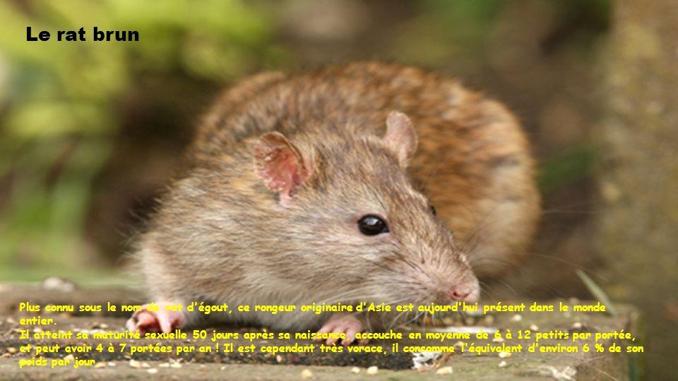 Le rat brun Plus connu sous le nom de rat d égout, ce rongeur originaire d Asie est aujourd hui présent dans le monde entier.